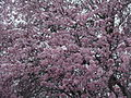 Flickr - brewbooks - Our Ornamental Plums in Flower - with Snow (1).jpg