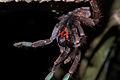 Flickr - ggallice - Tarantula (1).jpg