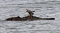 Flightless Steamer-Duck (Tachyeres pteneres) (15953809971).jpg