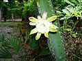 Flor do mandacarú - panoramio.jpg