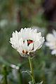 "Flower, Namaqua-land Daisy ""White"" - Flickr - nekonomania.jpg"