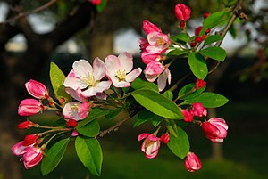 Flowering crab apple in Washington DC during t...