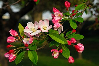 Malus - Flowering crabapple blooms