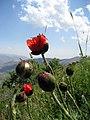 Flowers, Vayots Dzor 05.jpg