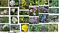 Flowers in Ontakesan 2010-8-27.JPG