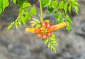 Flowers of Campsis radicans 01.jpg