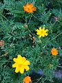 Flowers of Cosmos sulphureus 20160729.jpg