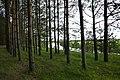 Forêt de pins au bord de la Nerl près de Kideksha (2).jpg