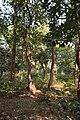 Forest - Budhibili - Dandadhar Road - Dhenkanal 2018-01-25 9639.JPG