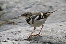 Forest Wagtail (cropped).jpg