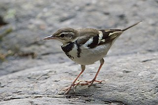 Forest wagtail Species of bird