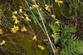 Forest of Cytisus scoparius.tiff