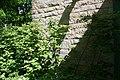 Fothergilla gardenii 18zz.jpg