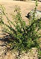 Fouquieria macdougalii kz3.jpg