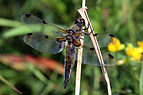 Four-spotted chaser dragonfly (Libellula quadrimaculata) female.jpg