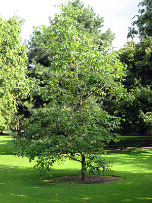 Fraxinus profunda - Pumpkin ash in the Royal Botanic Garden Edinburgh