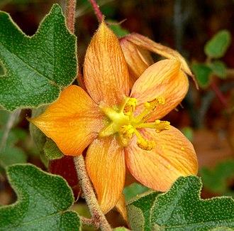 Fremontodendron californicum - Fremontodendron decumbens — Pine Hill flannelbush.