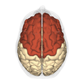 Frontal lobe - superior view.png