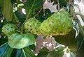 Fruits de noni au Bénin 01.jpg