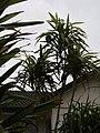 Frullania falciloba Lehm. (AM AK321893-2).jpg