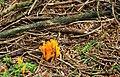 Fungus, Drumkeeragh forest (8) - geograph.org.uk - 1463909.jpg