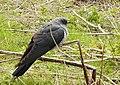 Gök Common Cuckoo (20163877259).jpg