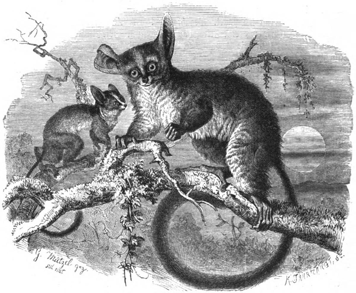 Lesser bushbaby - Wikipedia