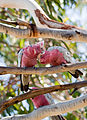 Galahs in tree at Roches Beach Tasmania.jpg