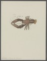 Galathea strigosa - - Print - Iconographia Zoologica - Special Collections University of Amsterdam - UBAINV0274 096 14 0004.tif