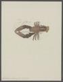 Galathea strigosa - - Print - Iconographia Zoologica - Special Collections University of Amsterdam - UBAINV0274 096 14 0004.tif