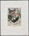 Gallus ferrugineus - 1700-1880 - Print - Iconographia Zoologica - Special Collections University of Amsterdam - UBA01 IZ17000063.tif
