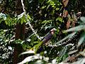 Gavião (Rupornis magnirostris).JPG