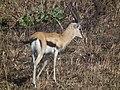 Gazella thomsonii Thomsons Gazelle in Tanzania 2780 Nevit.jpg