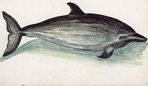 English: Striped Dolphin (Stenella coeruleoalb...