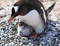 Gentoo Penguin with chick (6123863954).jpg