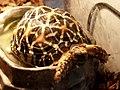 Geochelone elegans 印度星龜 - panoramio.jpg