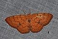 Geometridae (15208699265).jpg