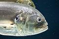 Georgia Aquarium (4662882319).jpg