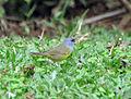 Geothlypis philadelphia Rancho naturalista Costa Rica.jpg