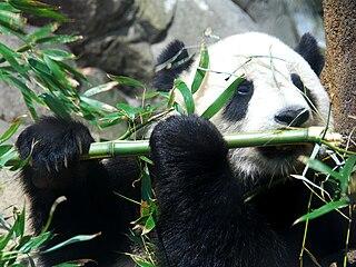 Tai Shan (giant panda) male giant panda