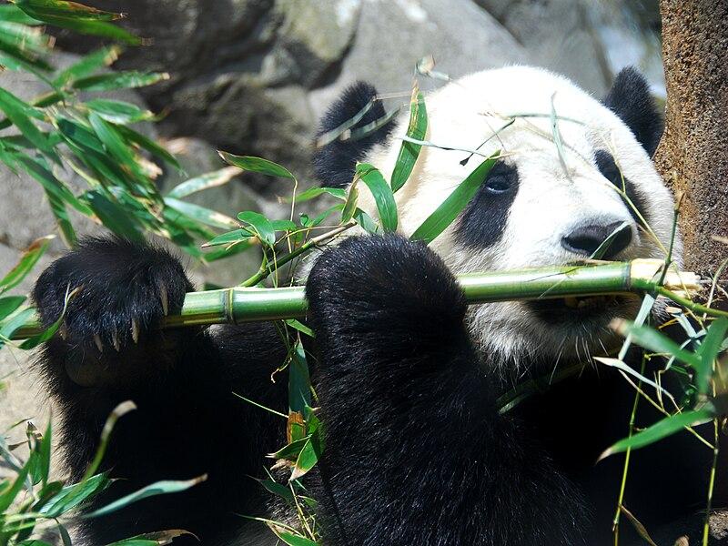 Giant Panda Tai Shan.JPG