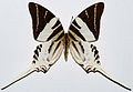 Giant Swordtail (Graphium androcles) (8361382203).jpg