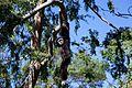Gibbon Ape.jpg