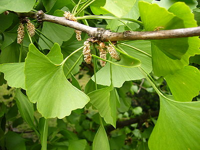 Gingko flowers.jpg