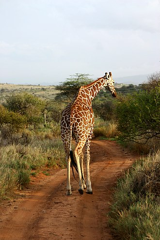 Lewa Wildlife Conservancy - Reticulated giraffe in Lewa