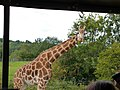 Giraffe (15046248245).jpg