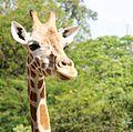 Giraffe III (13945323221).jpg