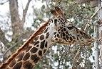 Giraffe in San Diego Zoo.jpg