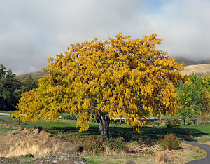 Honey locust - A honey locust in Washington state shows its fall color.