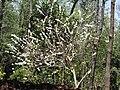 Gliricidia sepium var.alba-1-peliyur-yercaud-salem-India.jpg
